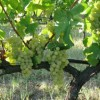 7783-02.08.2017 – Κατάργηση του Ειδικού Φόρου Κατανάλωσης στο Κρασί Πριν την Έναρξη του Φετινού Τρύγου