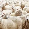 476-Konu: Rodop İlinde 2014 yılında koyun çiçeği salgınında zarara uğramış olan hayvan besicilerinin tazminatının ödenmesi.